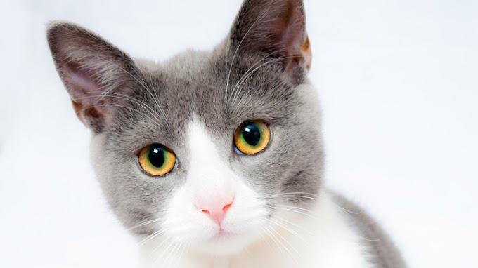 Ronroneo de los gatos: todo lo que debes saber (y quizá no conozcas)