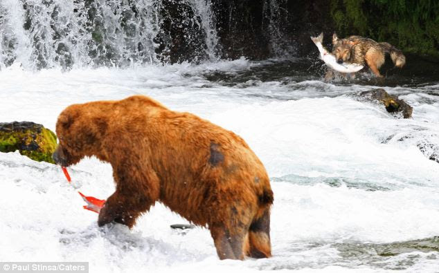 Gotcha: The wolf wrestles with his catch within just yards of a brown bear as he looks to bring in his own