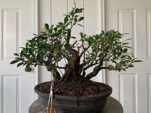 Bonsai Tree Baton Rouge Bonsai Tree