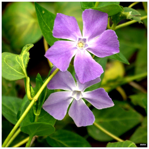 La Vinca, Vincapervinca o Hierba doncella, recibe el nombre científico de Vinca minor