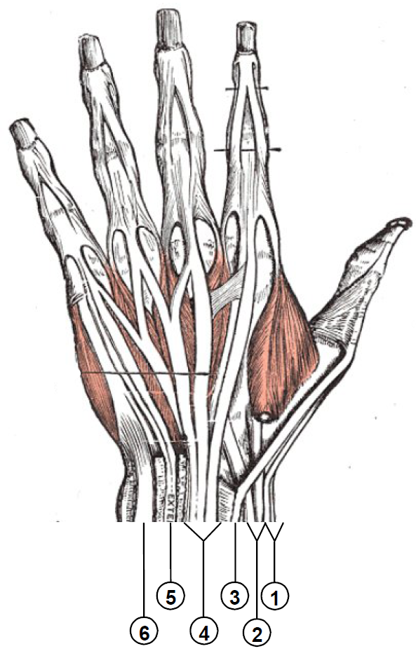 http://upload.wikimedia.org/wikipedia/commons/3/38/Wrist_extensor_compartments_%28numbered%29.PNG