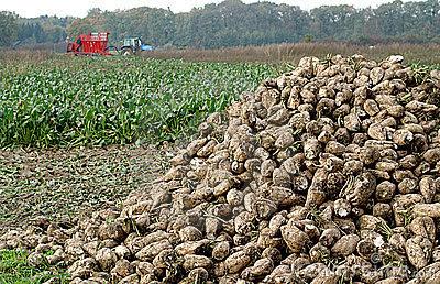 Αποτέλεσμα εικόνας για Ολοκληρωμένη διαχείριση στην παραγωγή σακχαροτεύτλων»