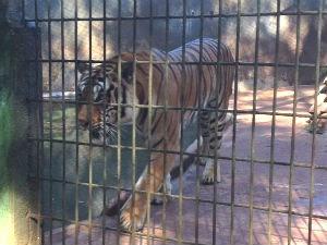 Animal ficou isolado por cinco dias e retornou para a exposição ao público nesta terça-feira (5) (Foto: Franciele John / G1)