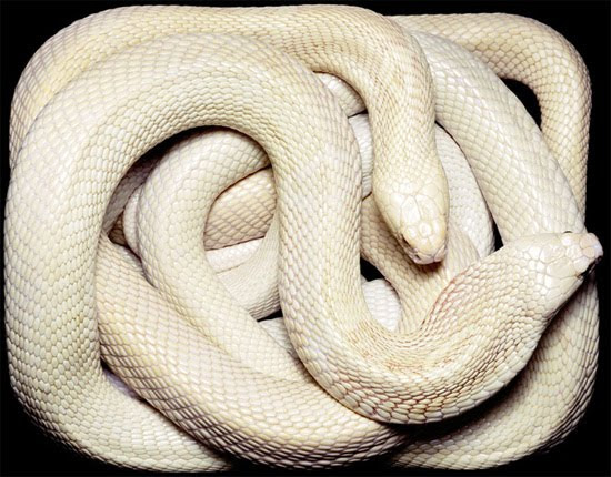 white cobra The Most Dangres Snakes In The World