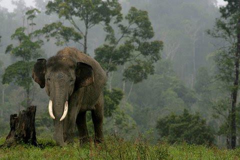 A Sumatran elephant.