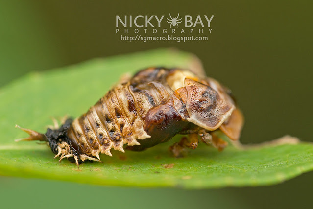 Tortoise Beetle pupa (Cassidinae) - DSC_8136