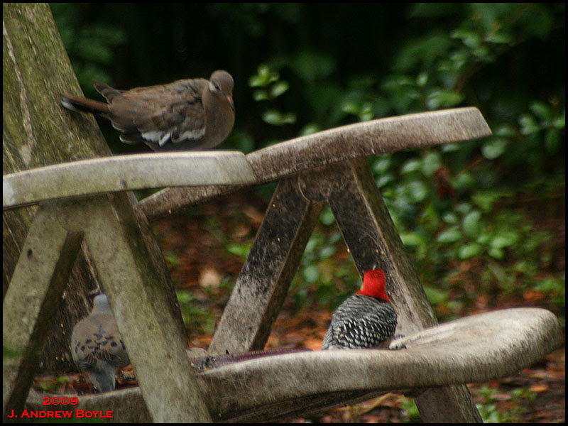 White-winged Dove and Red-bellied Woodpecker