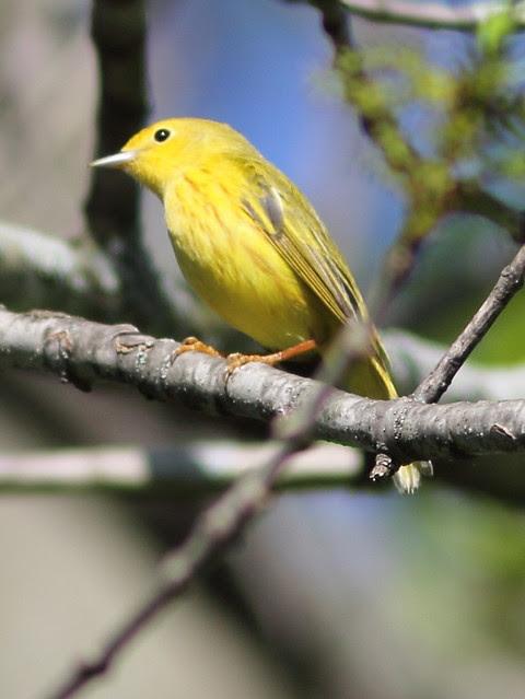 Yellow Warbler 4-20130514