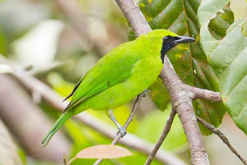 Greater Green Leafbird Male (Chloropsis sonnerati)