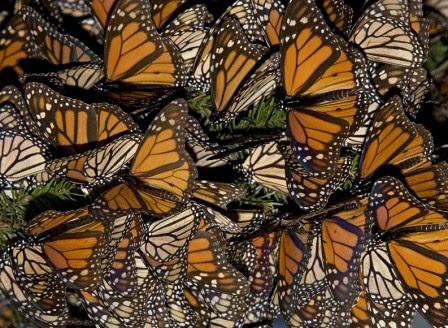 Migración De La Mariposa Monarca Mariposapedia