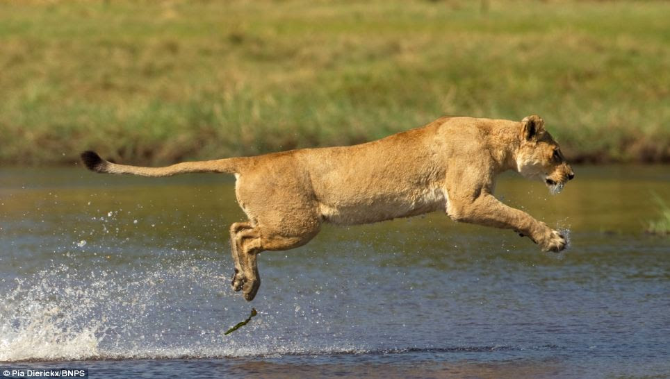 Spring: The lioness springs from the water and into action as she prepares to battle to protect her cubs from the lurking crocodileSpring: The lioness springs into action as she prepares to battle to protect her cubs from the lurking crocodile