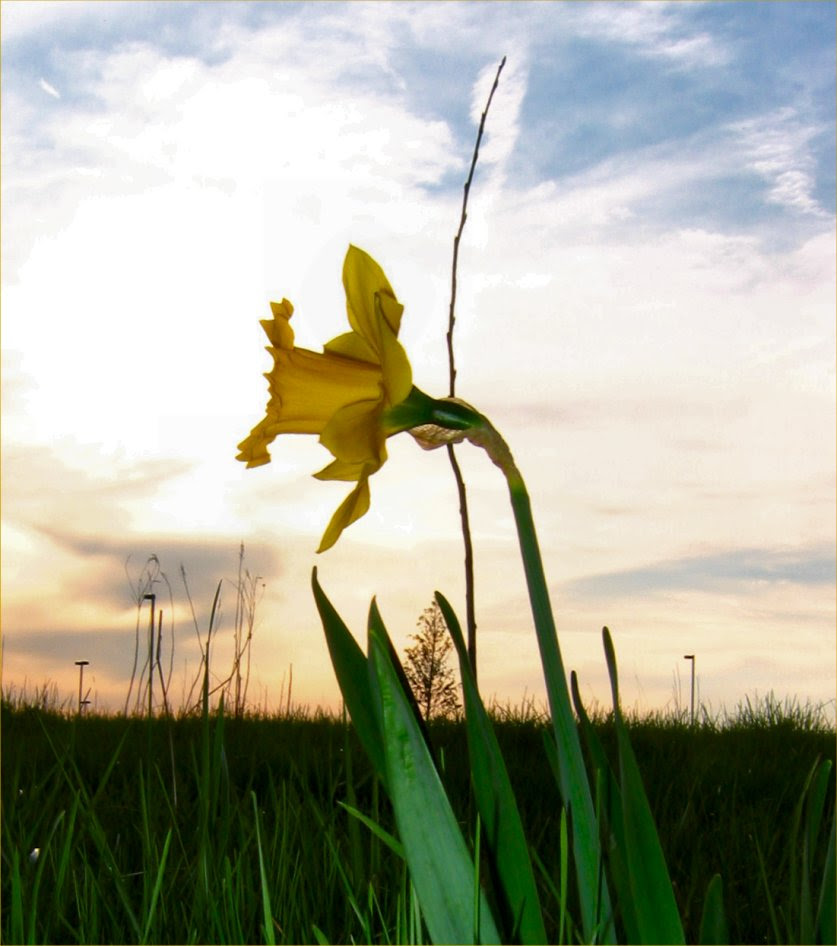 Daffodil Photo Silhoutte - Spring in Wisconsin - May 2009 - soul-amp.com