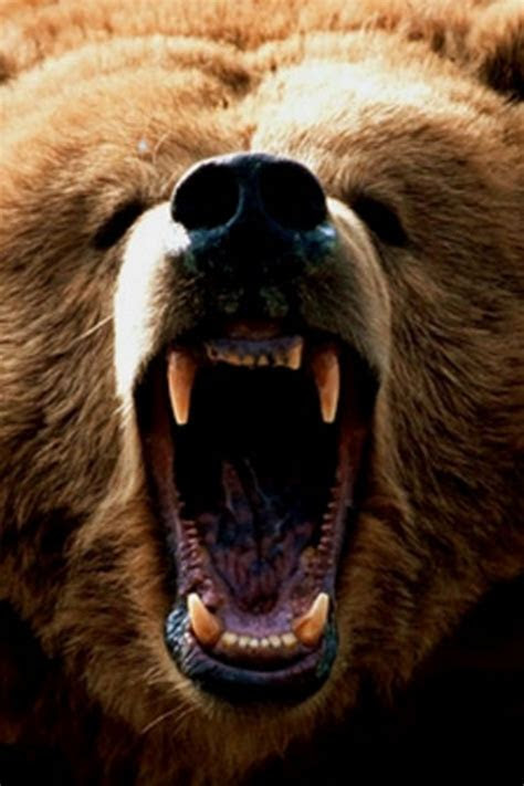 grizzly bear iphone wallpaper hd