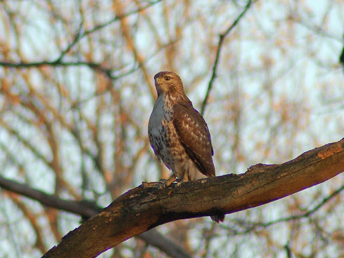 Juvenile Red-Tailed Hawk in Central Park North Woods