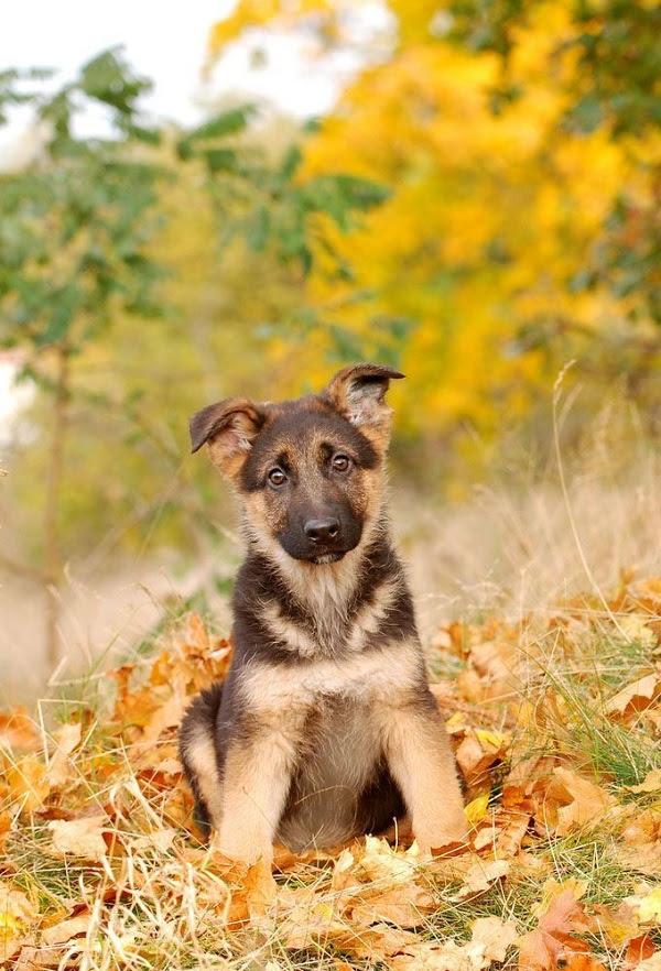 Buy German Shepherd Puppy For Sale Near Me In Poland