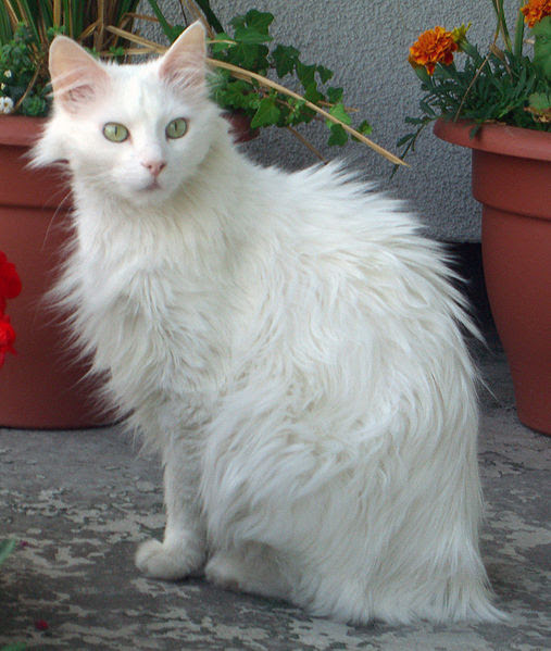 Long Hair Cat Breeds
