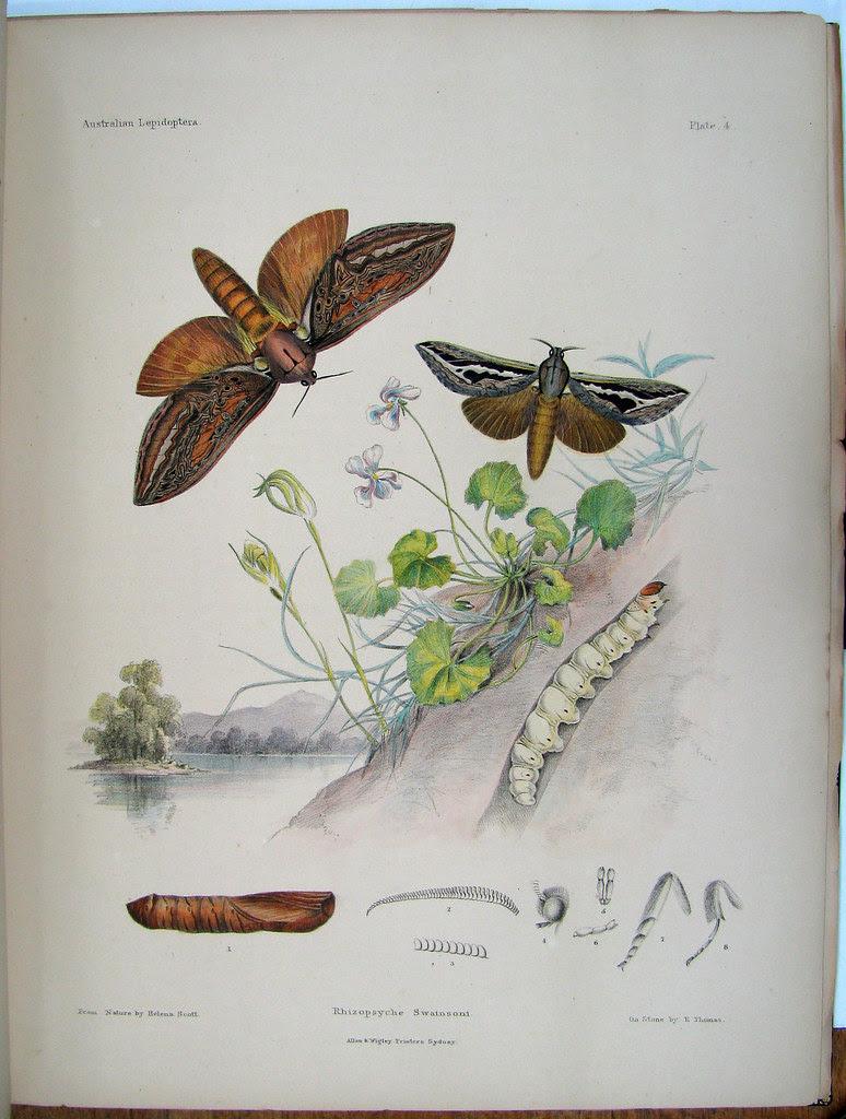 Scott - Lepidoptera - Plate 4