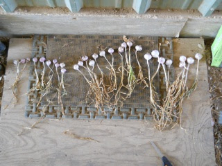 Dried Garlic Plants Separated Out by Size