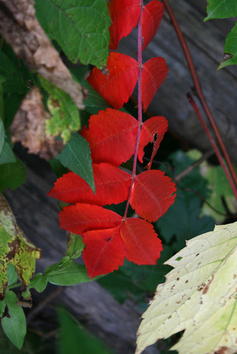 mba red leaves