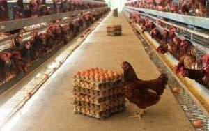 Ayam petelur adalah jenis ayam betina dewasa yang telah mampu menghasilkan telur 8 Kendala Dalam Usaha Ternak Ayam Petelur
