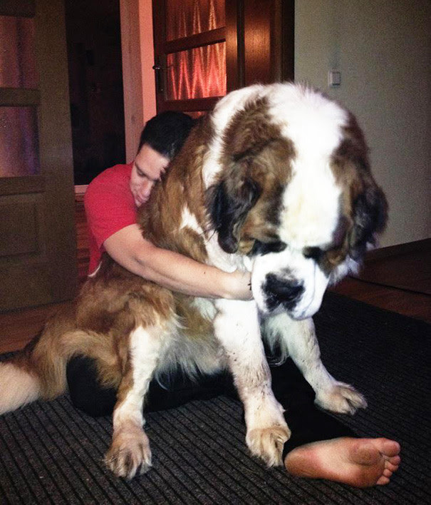 16. This giant size dog