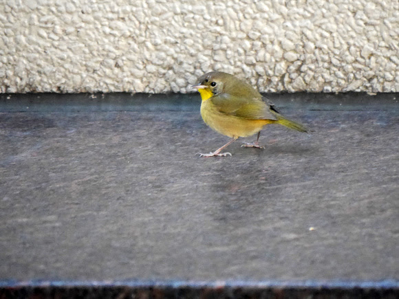 Ed Gaillard: birds &emdash; Common Yellowthroat, 345 Park Avenue