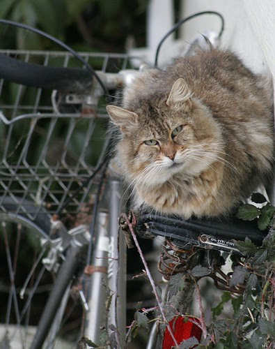 More Cat on Bike