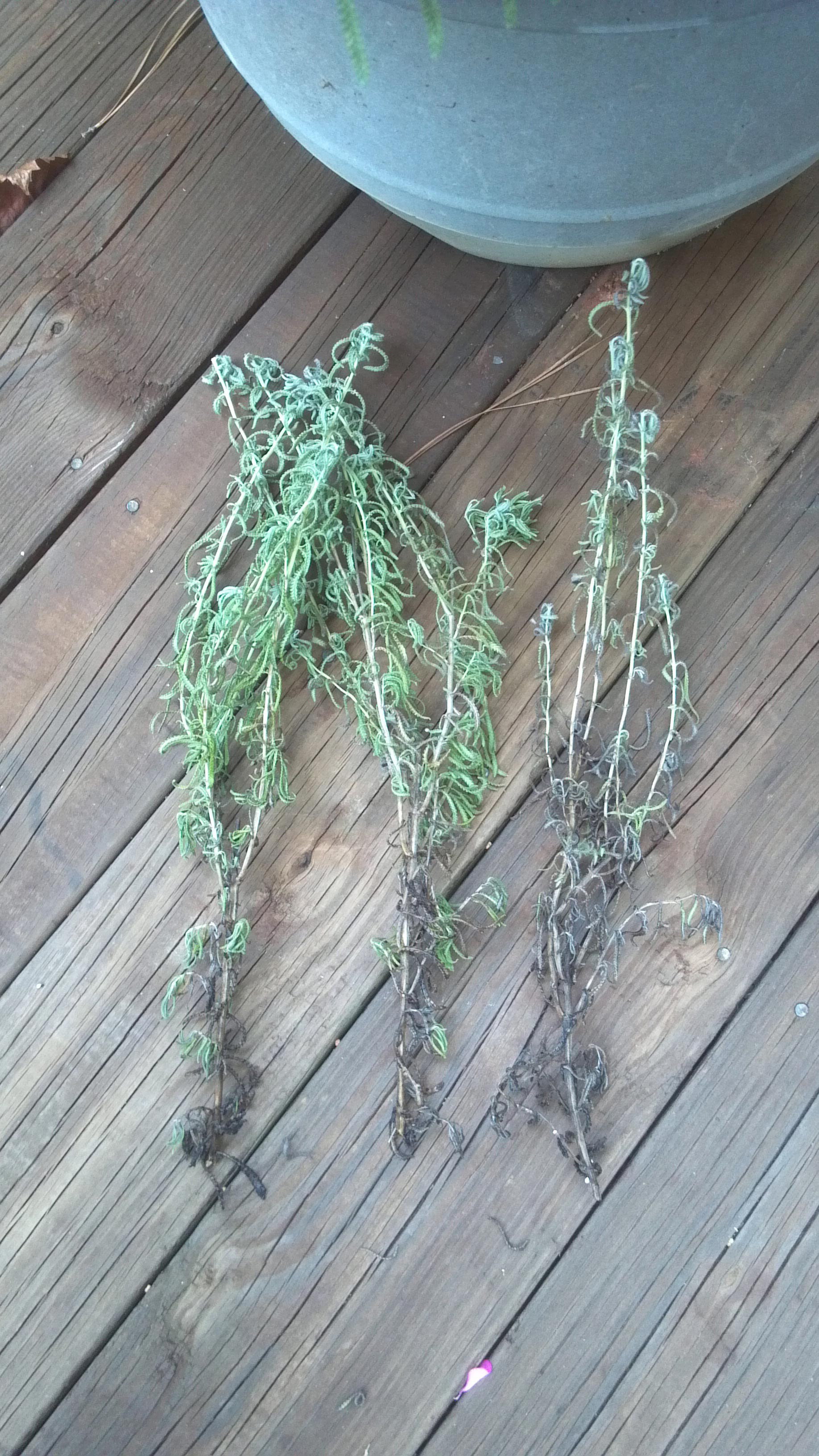 Lavender - Dying in Pot | Walter Reeves: The Georgia Gardener
