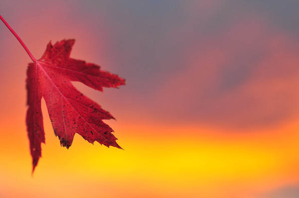 Maple Sunset
