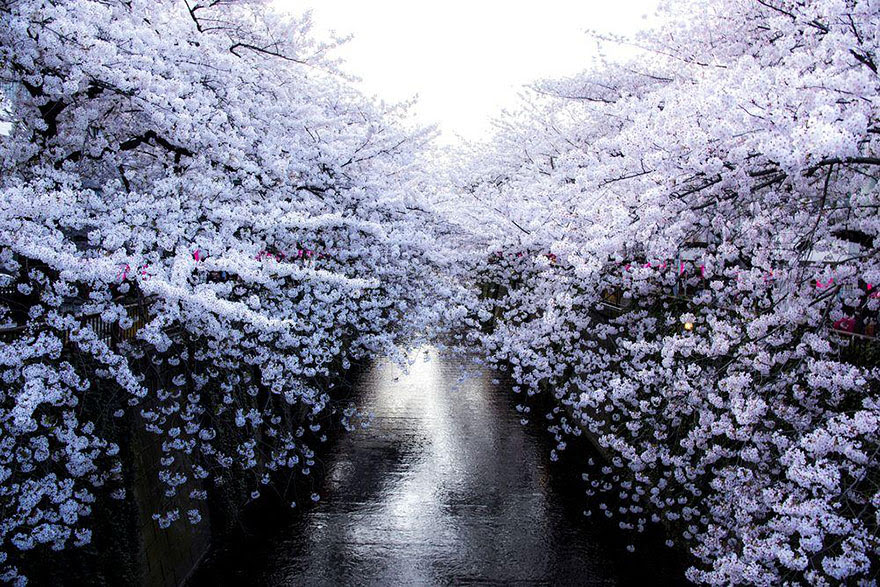 primavera-flores-cerezo-sakura-japon-national-geographic (2)