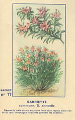 legume77 sarriette