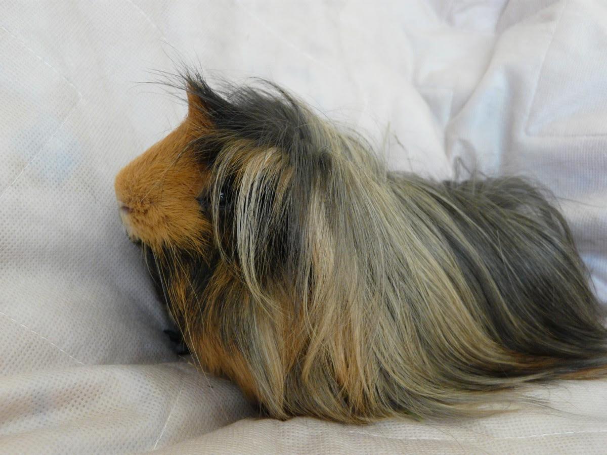 Cochon Dinde Péruvien