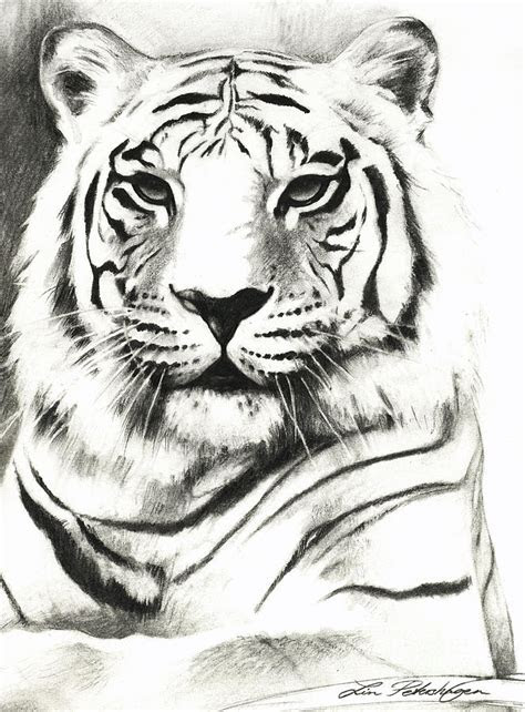 white tiger portrait drawing  lin petershagen