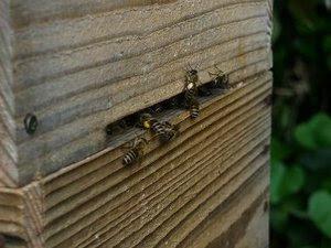 日本ミツバチ 花粉集め