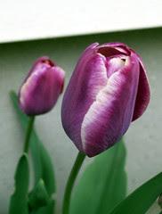 Tulips_5709