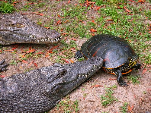 crocodile and tortoise