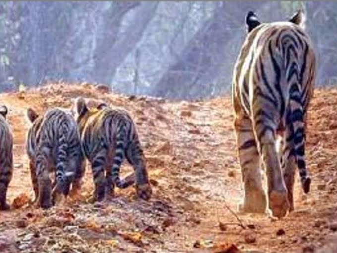 Amid Covid, Bandhavgarh sees a big cat boom