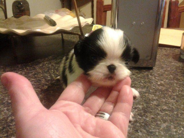 Cute little japanese chin puppies for sale! for Sale in Newport, Tennessee Classified