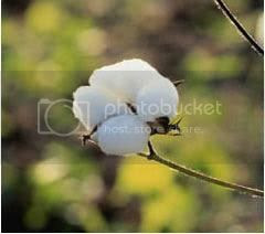 CottonFlower