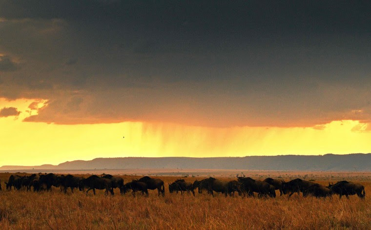 A herd of wildebeests walks during the annual wildebeests migration in the Masai Mara game reserve on September 13, 2016. (Carl de Souza/AFP/Getty Images)