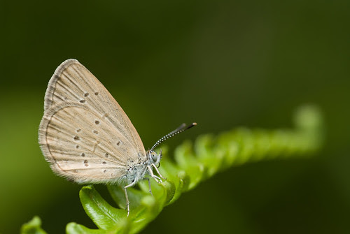 Zizina otis lampa (Lesser Grass Blue) butterfly DSC_9402 copy