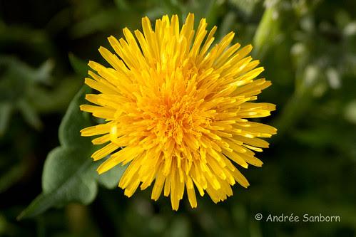 Dandelion (Taraxacum officinale)-7.jpg