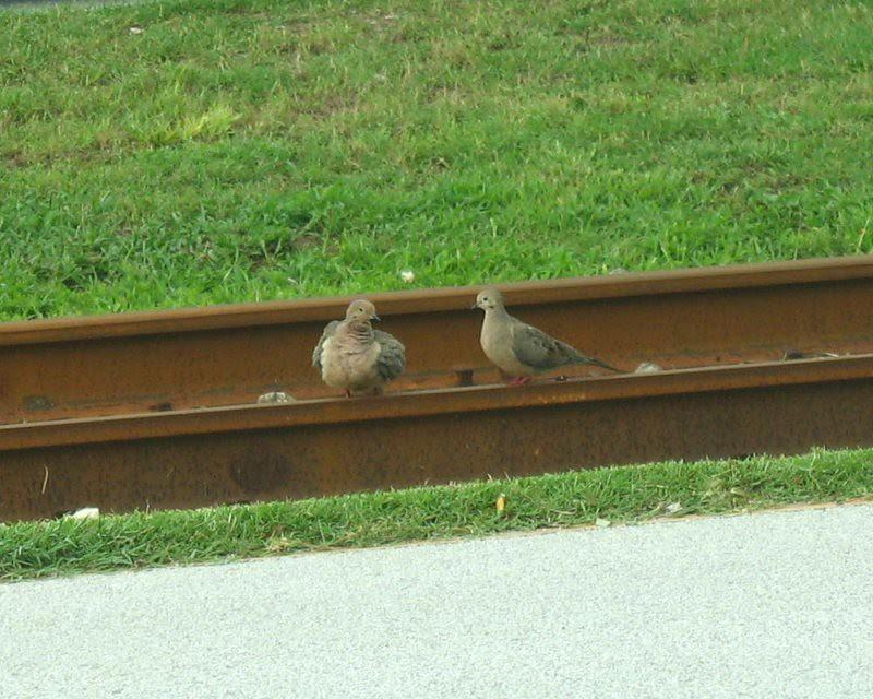 new size wordless track dove IMG_1964