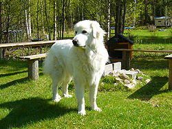Great Pyrenees Large Dogs