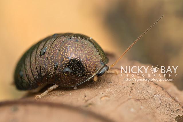 Pill Cockroach - DSC_4677