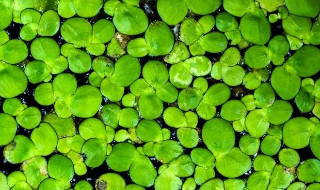 Самое быстрорастущее растение в мире поможет в создании суперурожайных культур