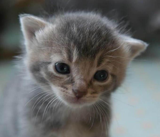 A qué edad los gatitos comen solos