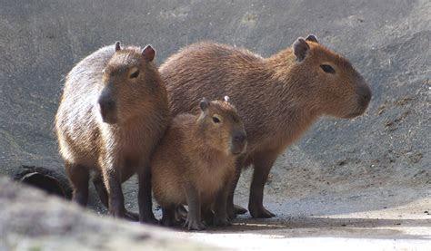 Capybara   Twycross Zoo