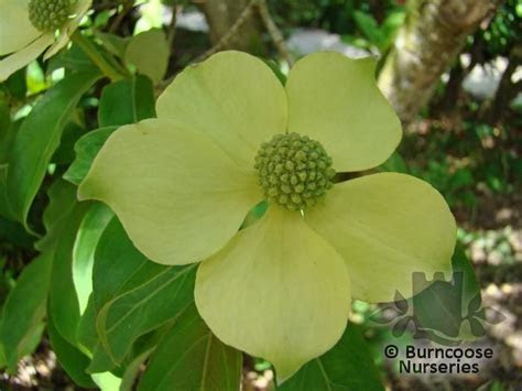 Cornus from Burncoose Nurseries   Page 1