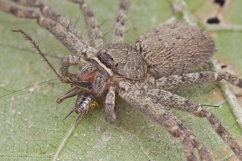 IMG_0780 copy huntsman spider eating a cricket
